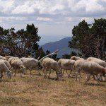 Koeien op de Mont Aigoual