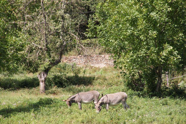 Van oudsher veel ezels in deze streek